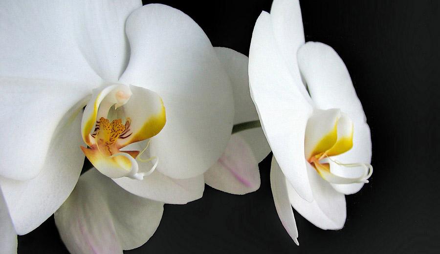 https://cqc5187.phpnet.org/wp-content/uploads/2017/10/orchids-2786647_1920.jpg